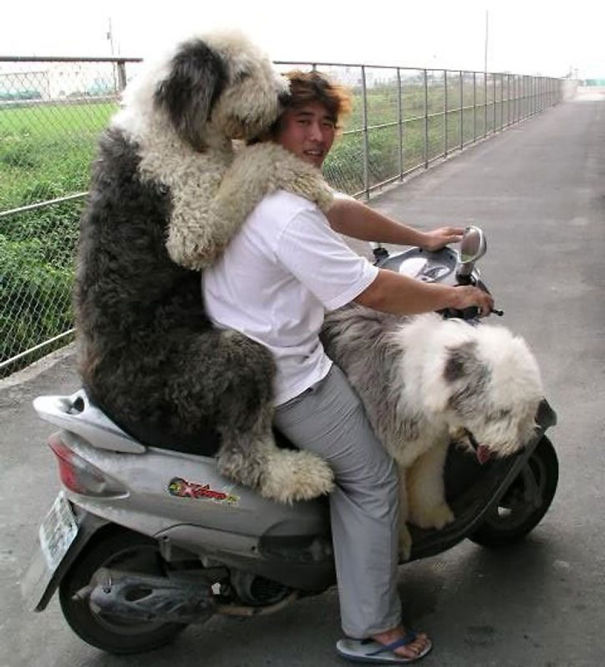 big-dogs-funny-pictures-4__605