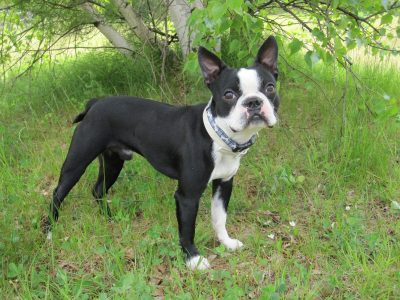 boston terrier apartamento