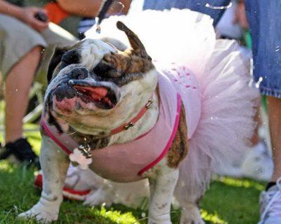 bulldog-se-sacudindo-vestido-bailarina