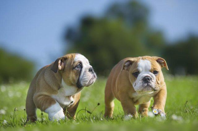 bulldog socializar