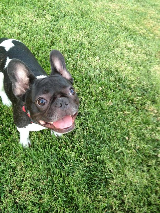 bulldog-sorrindo
