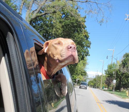 cachorro-adotado-11