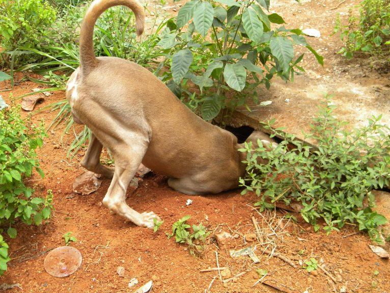 cachorro cavando jardim