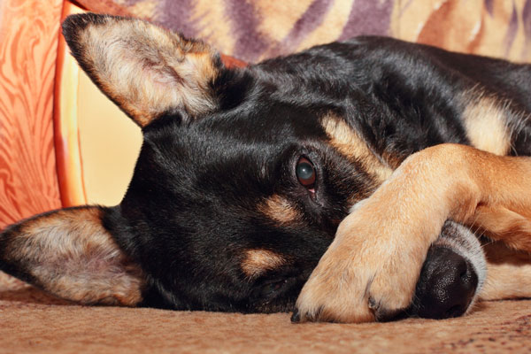 cachorro cheiro forte