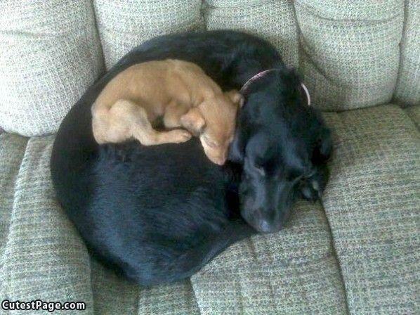 cachorro dormindo enrolado