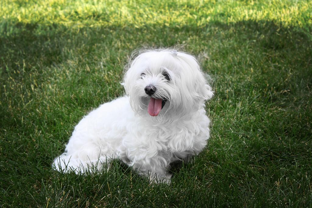 Raças de Cachorros - Letra M | Tudo Sobre Cachorros