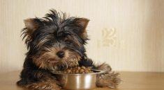 cachorro nao quer comer