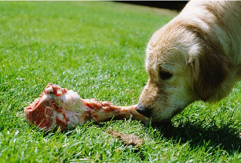 cachorro-osso