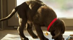 Cachorro pega comida do pote pra comer longe