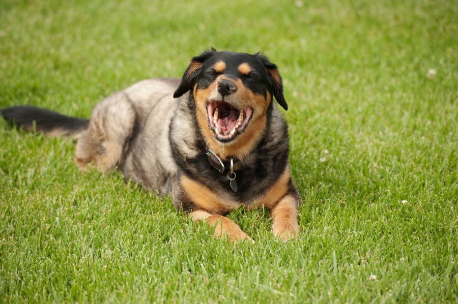 cachorro tossindo causas