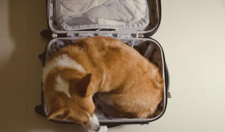 cachorro viagem 8