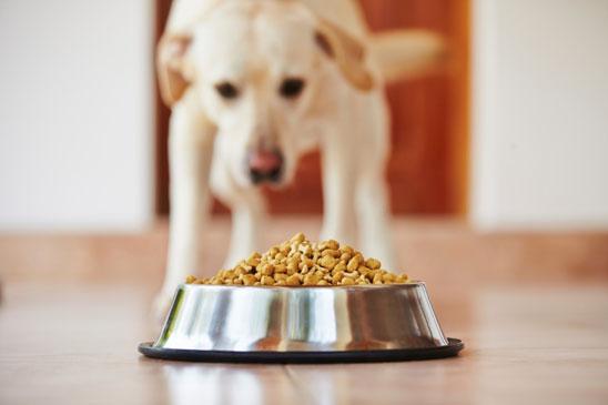 cachorro vomitando depois de comer