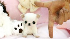 cachorros miniatura