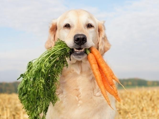 cenoura cachorro