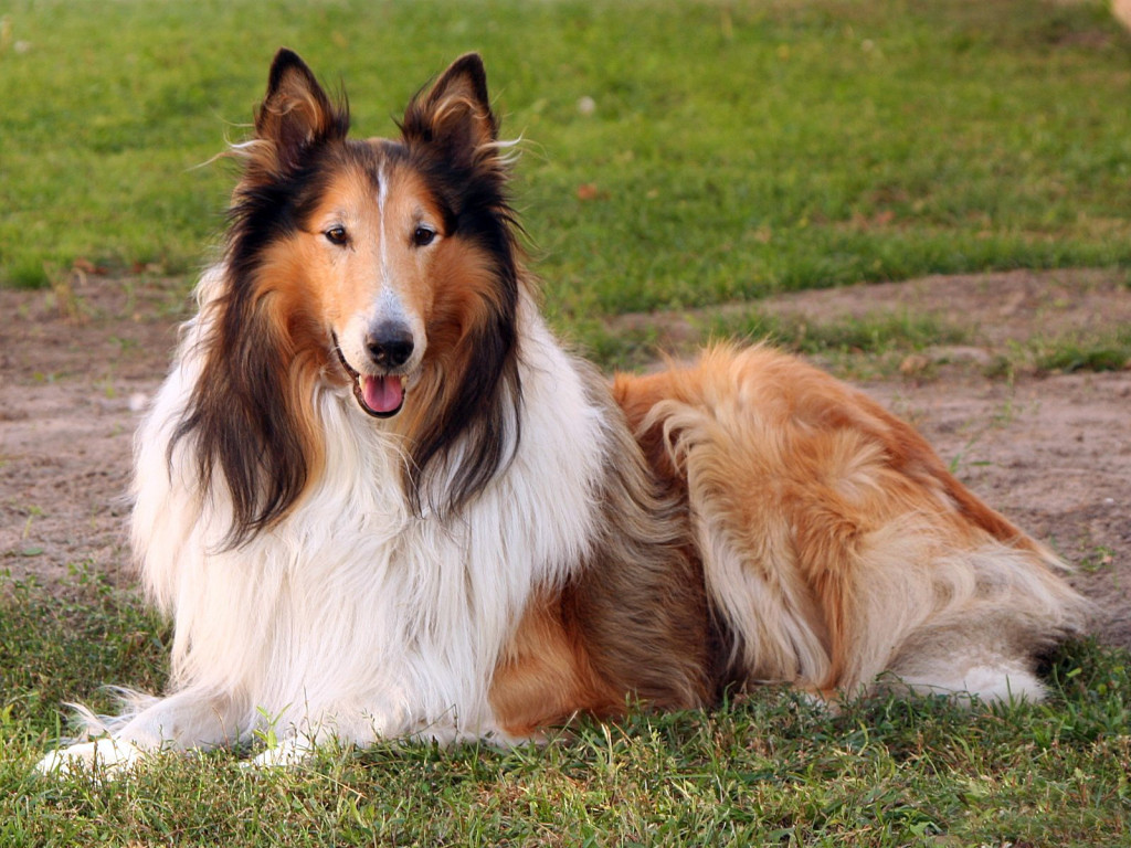 collie racas doceis