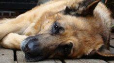 como-identificar-cachorro-dor