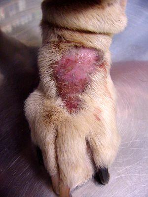 dermatite por lambedura