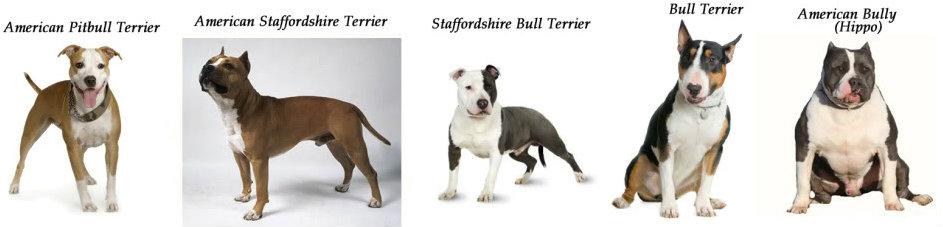 Qual é a diferença entre um American Pit Bull Terrier (APBT), um American Staffordshire Terrier e Staffordshire Bull Terrier?