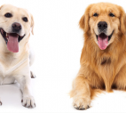 diferencas-labrador-golden-retriever