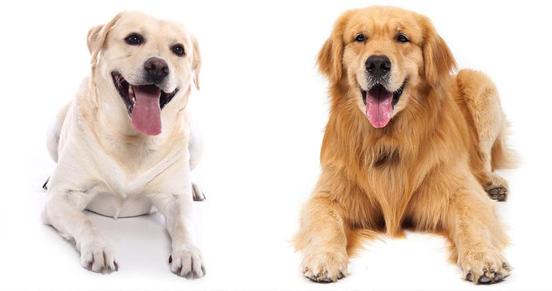 Diferenças Entre Labrador E Golden Retriever Tudo Sobre Cachorros