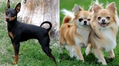 diferencas-pinscher-chihuahua