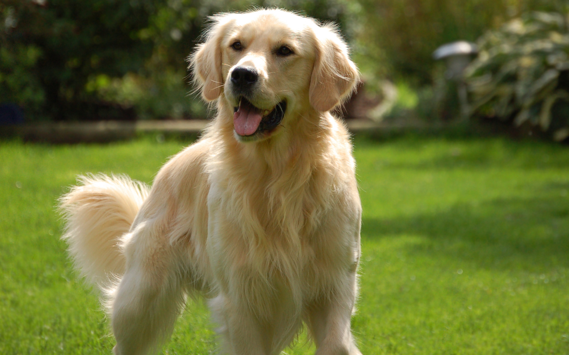 golden retriever racas doceis