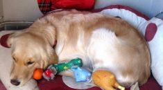gravidez psicologica em cadelas