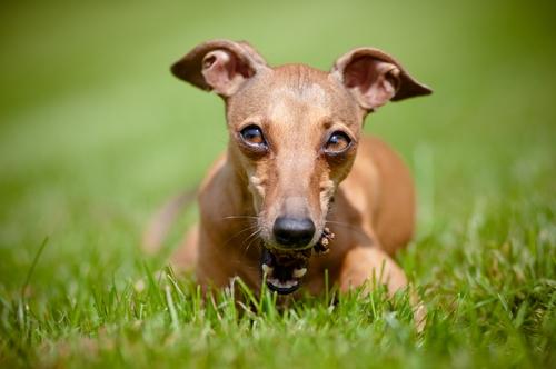 greyhound nao solta pelo