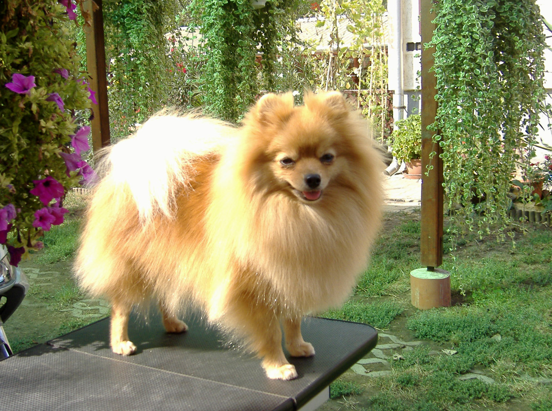 Japanese Speech Dog Breed