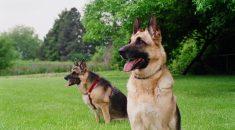 melhores cães de guarda