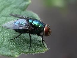 mosca berneira