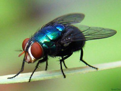 mosca varejeira miiase bicheira