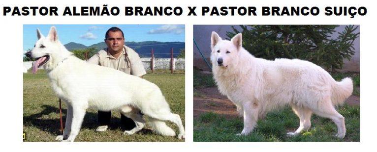 pastor alemao branco e pastor branco suíço