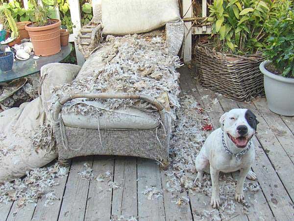 pitbull roi muito destruidor