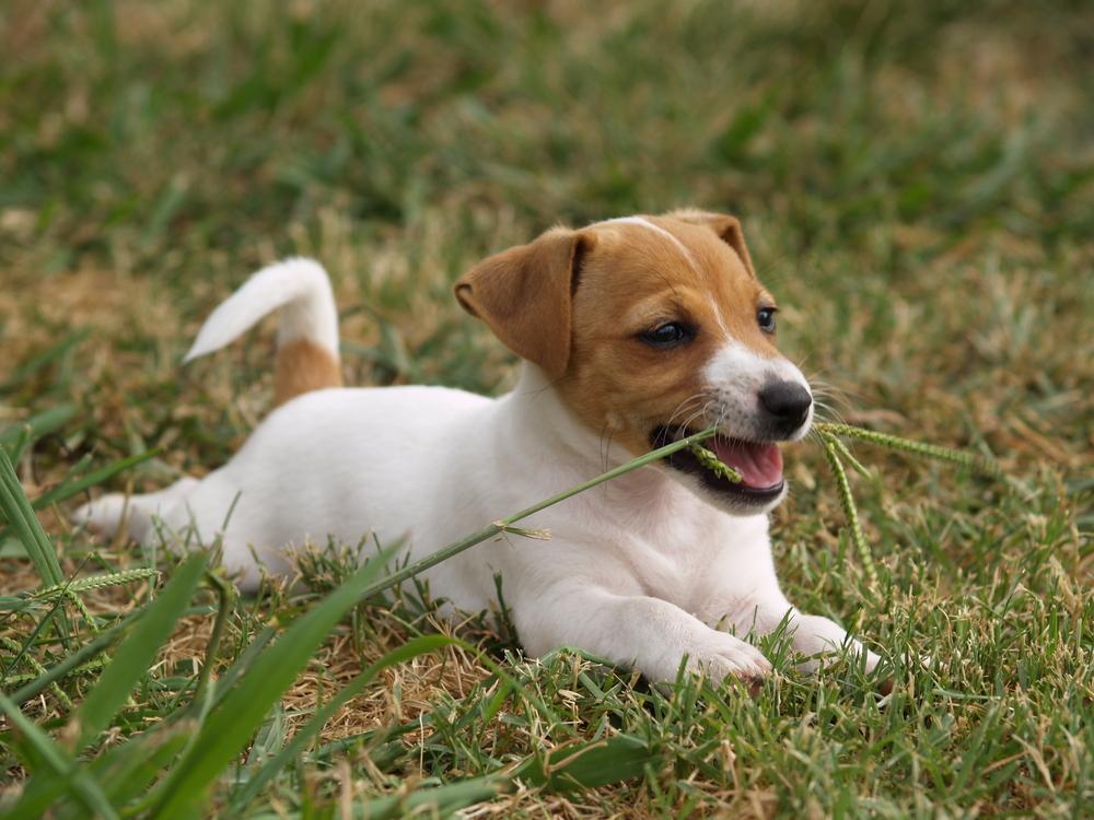 porque cachorros comem grama
