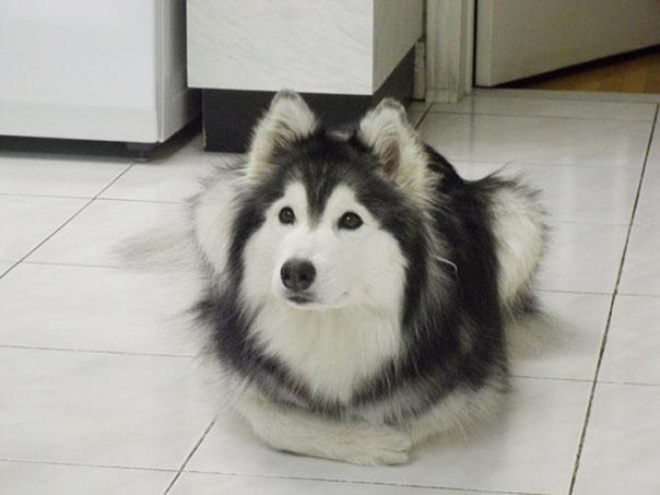 tally-husky-dog-raised-by-cats-2