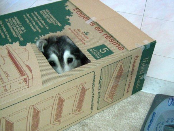 tally-husky-dog-raised-by-cats-4