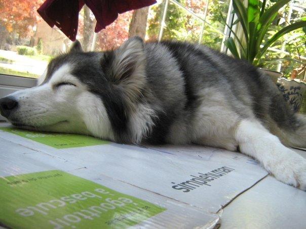 tally-husky-dog-raised-by-cats-40