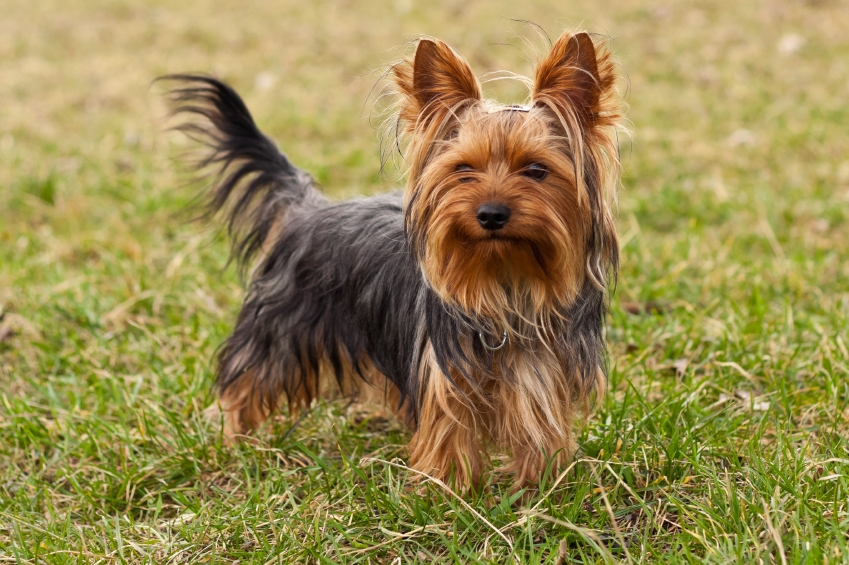 Norfolk Terrier Adults